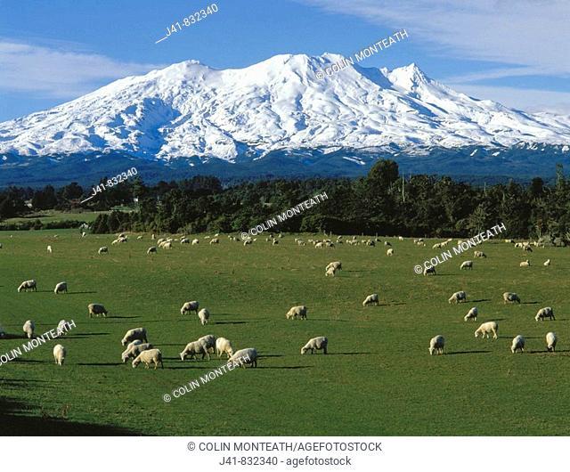 Sheep grazing near Ohakune with view towards Mt Ruapehu New Zealand