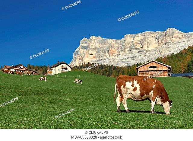 Cows grazing in San Cassiano, at the foot of the Sasso della Croce, Dolomites