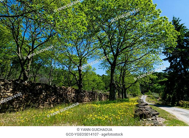 Forest of Chestnut Trees Near Lumiere, Ardeche, Rhone Alpes, France