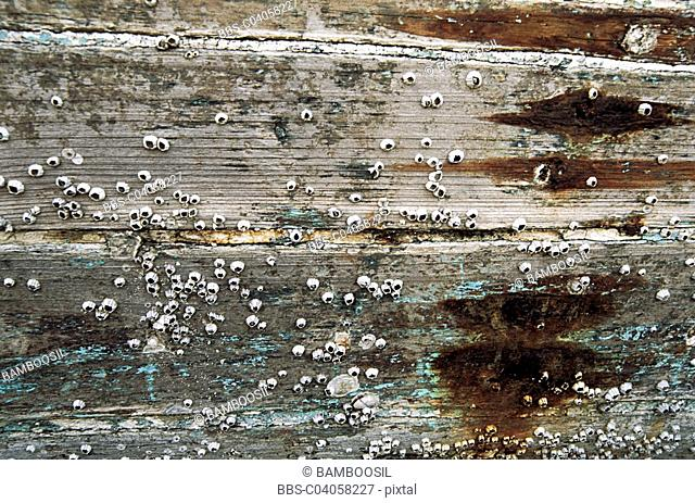 Close-up of wooden plank with barnacles, Xiaozuo ship repairing field, Huian County, Fujian Province of People's Republic of China