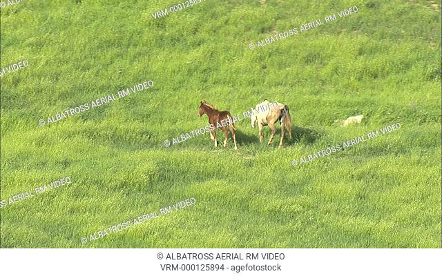 Aerial HD shot of horses in a field. Mother and foal grazing