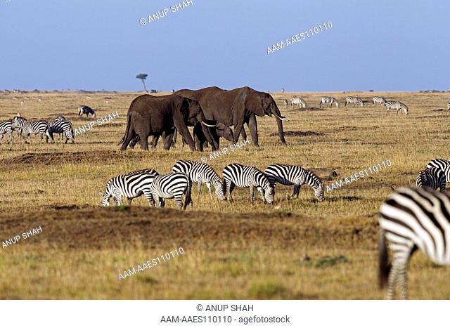 African elephants walking through mixed species grazing herd (Loxodonta africana). Maasai Mara National Reserve, Kenya. Mar 2011