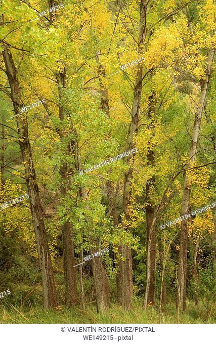 Poplars (Populus nigra) on riverside of the Turia river in Santacruz de Moya. Cuenca