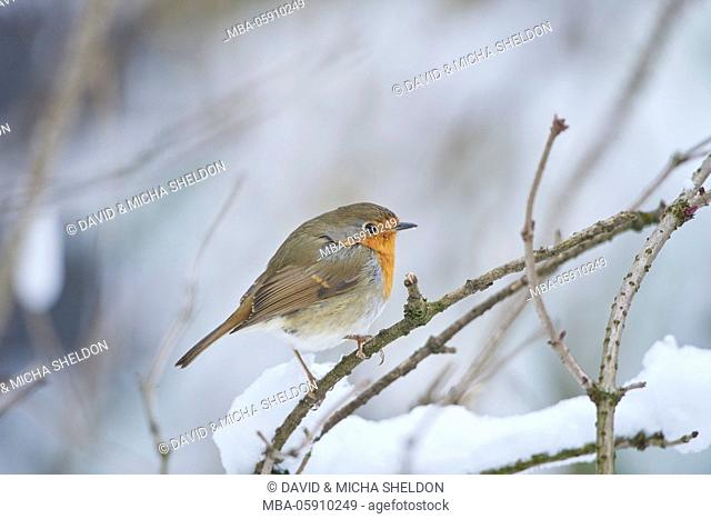 Robin, Erithacus rubecula, winter, branch, side view, sit