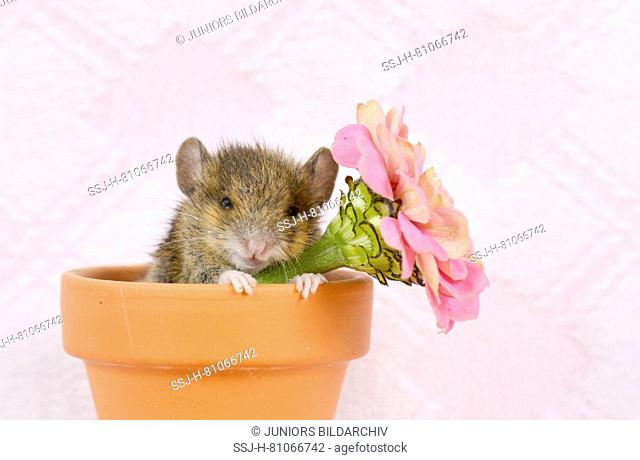 Wood Mouse (11 days old). Young sleeping in a flower pot next to a Zinnia flower. Germany