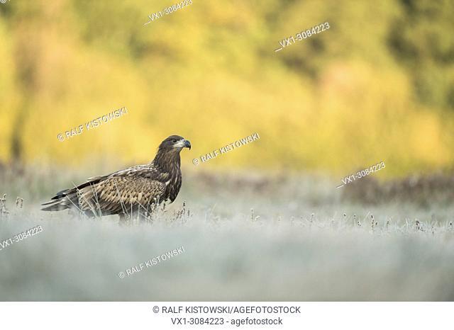 White-tailed Eagle / Sea Eagle ( Haliaeetus albicilla ), young bird, sitting on hoarfrost covered grassland, typical behavior, wildlife, Europe
