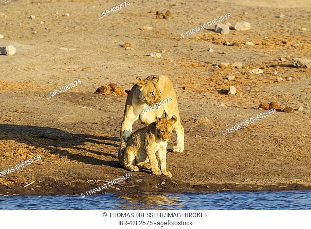 Lion (Panthera leo), female and cub at a waterhole, Etosha National Park, Namibia