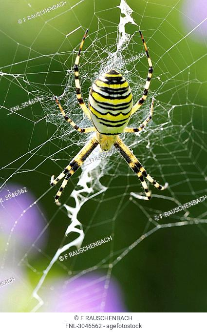Wasp spider Argiope bruennichi sitting on net, close-up