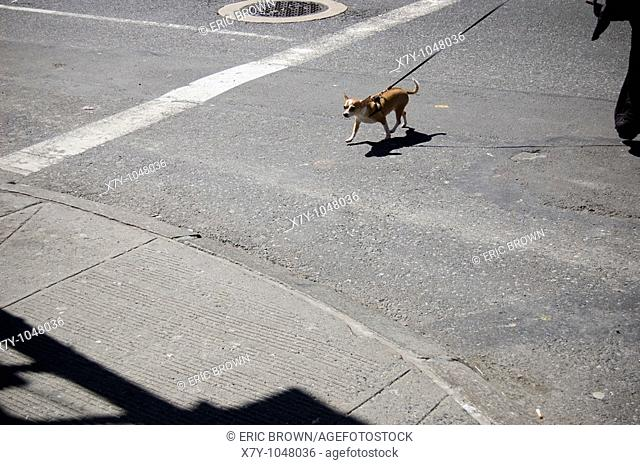 A dog is being walked across the street in Manhattan, NY