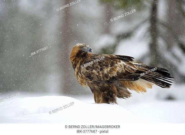 Golden Eagle (Aquila chrysaetos) standing in deep snow during snowfall, Oulanka National Park, Kuusamo, Lapland, Finland