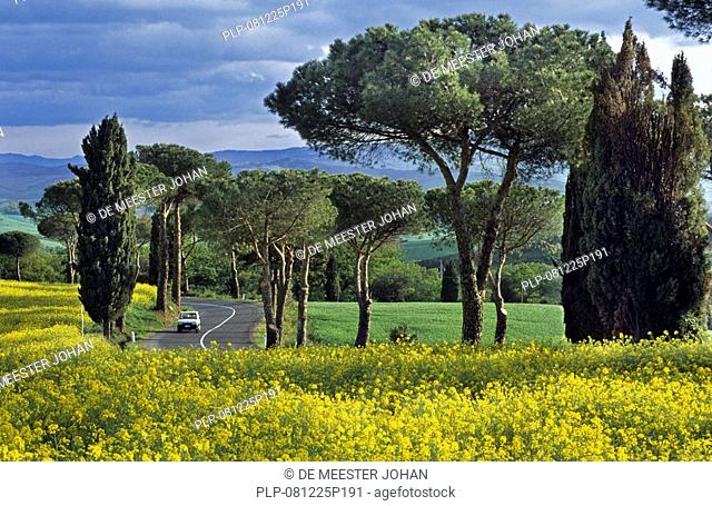 Cypress trees Cupressus sempervirens along road at Monticciello, Tuscany, Italy