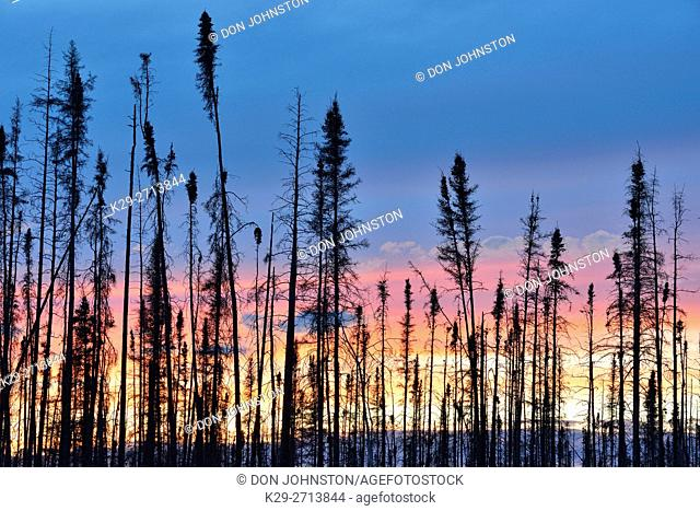 Sunset skies in an old forest fire, Wood Buffalo National Park, Alberta, Canada