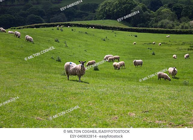 Sheep in Welsh field
