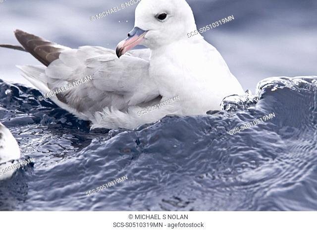 Adult southern fulmar Fulmarus glacialoides on the wing in the Drake passage between the tip of South America and Antarctica Southern Ocean The Southern Fulmar...