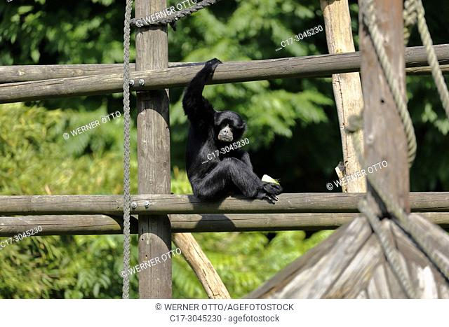 Dortmund, Bruenninghausen, D-Dortmund, Ruhr area, Westphalia, North Rhine-Westphalia, NRW, D-Dortmund-Bruenninghausen, zoological garden Dortmund, monkey