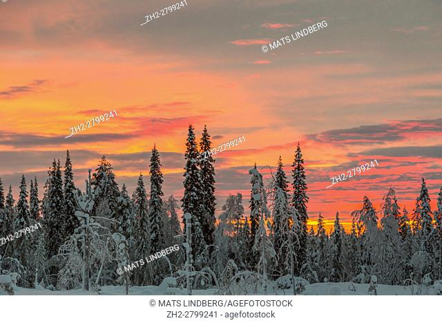 Winter forest with colorfull sky at sunset, snow on the trees, Gällivare, Swedish Lapland, Sweden