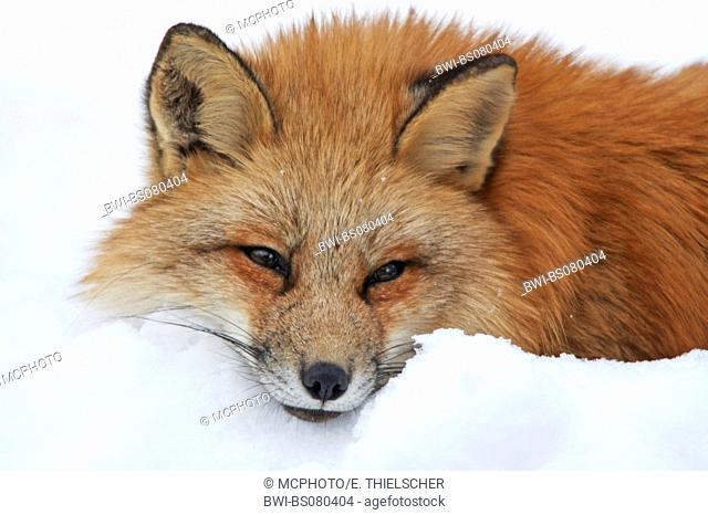 red fox (Vulpes vulpes), portrait in snow, Germany, Baden-Wuerttemberg