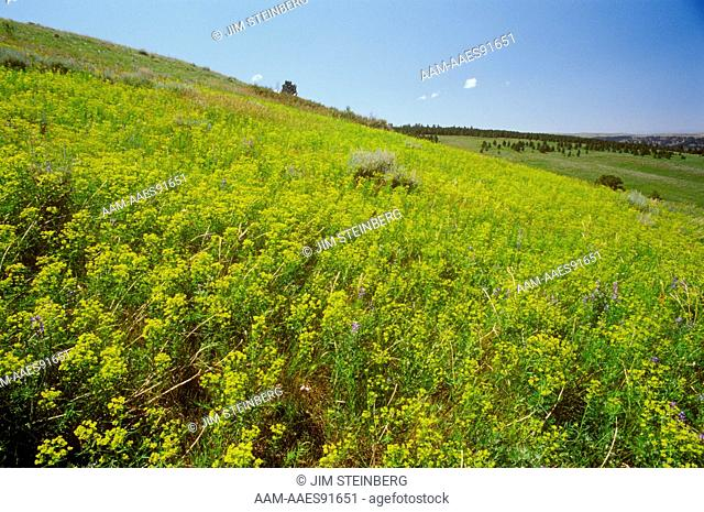 Leafy Spurge (Euphorbia esula) poisonous to Cattle, Stillwater Co., MT