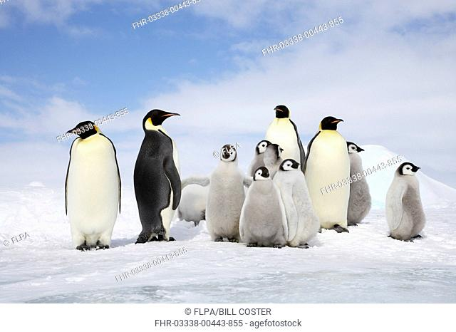 Emperor Penguin Aptenodytes forsteri four adults with group of chicks, standing on ice, Snow Hill Island, Weddell Sea, Antarctica