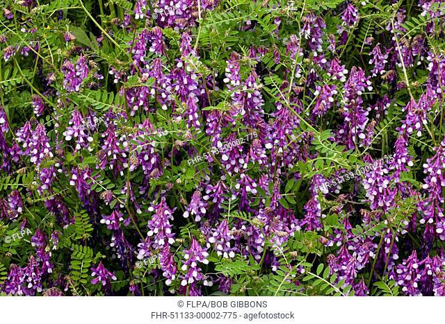 Fodder Vetch Vicia villosa flowering, Greece