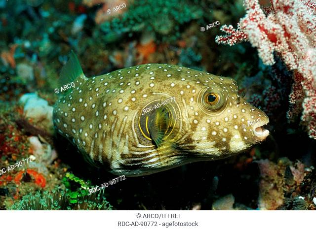 Whitespotted Puffer Fish, Lembeh Strait, Indonesia, Arothron hispidus