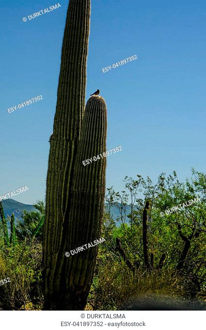 A Giant Saguaro, one of the largest cacti in the World, in Saguaro National Park, near Tucson Arizona