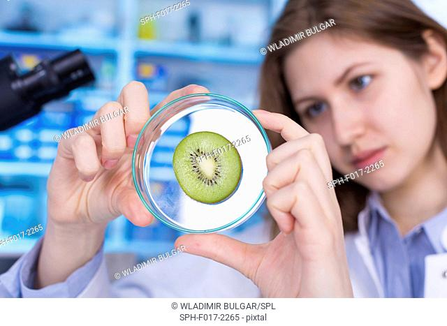 MODEL RELEASED. Woman looking at kiwi fruit in petri dish