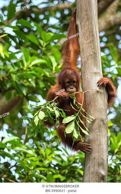 Bornean Orangutan (Pongo pygmaeus), juvenile on a tree, feeding on leaves, Singapore