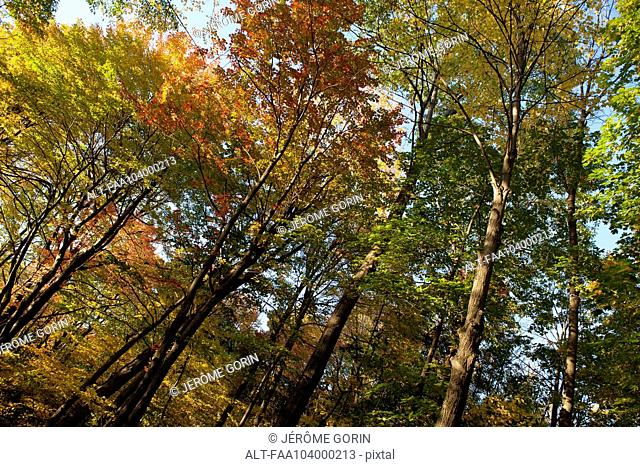 Trees in autumn, low angle view
