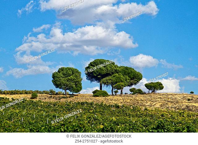 Pines trees at la Seca, Castile And Leon, Valladolid, Spain, Europe
