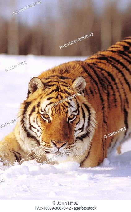 Alaska, Siberian tiger stalking prey in deep winter snow