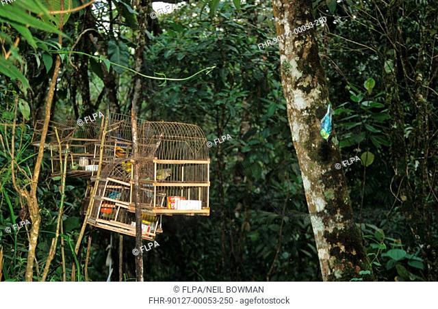 Traps, Bird Trapping, Henri Pittier N P , Venezuela