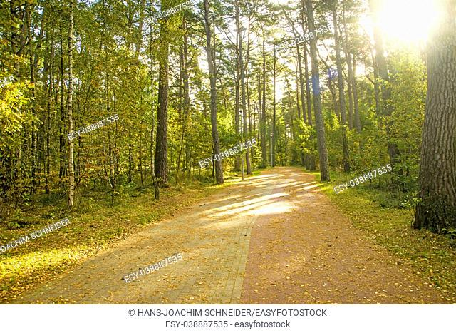 Pine forest on the Baltic sea coast in Poland