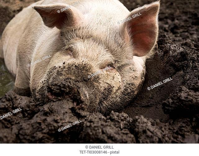 USA, Maine, Knox, Pig lying in mud