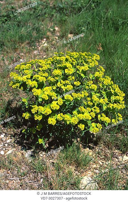 Serrated spurge (Euphorbia serrata) is a perennial herb native to western Mediterranean region. This photo was taken in Garraf Natural Park, Barcelona province