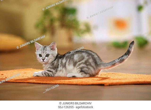 British Shorthair kitten - lying on rug restrictions:Tierratgeber-Bücher / animal guidebooks
