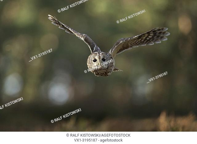 Tawny Owl (Strix aluco) in noiseless flight in front of the edge of a forest, frontal shot with eye-contact, huge wingspan.