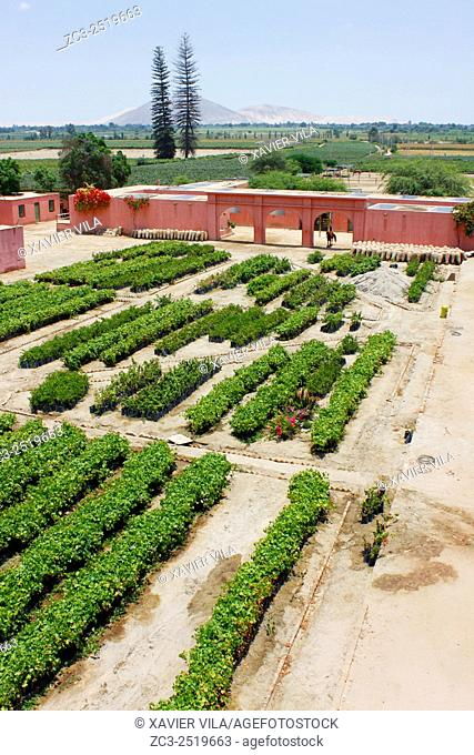 Vines before planting in the garden. In the decade of the 1540 s Francisco de Carabantes created The Tacama Vineyard, which is the oldest in Peru