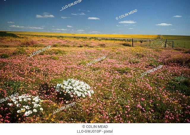 Fields of Wild Flowers in Nieuwoudtville District  Northern Cape Province, South Africa