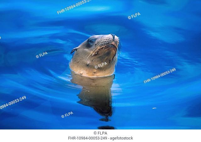Californian Sea Lion Zalophus californianus Head peering out of water / Monterey, California