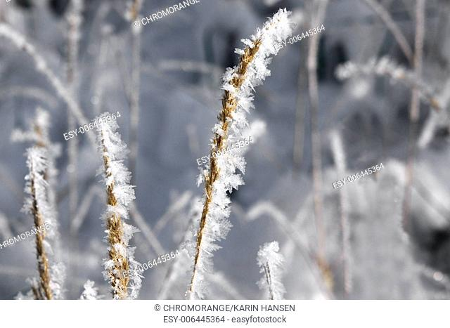 Snow and ice crystals in grasses