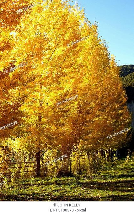 USA, Colorado, Trees in autumn foliage