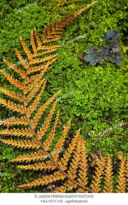 New Zealand, Southland, The Catlins  Detail view of a fern on a bed of moss, in the Catlins Forest Park near the town of Papatowai