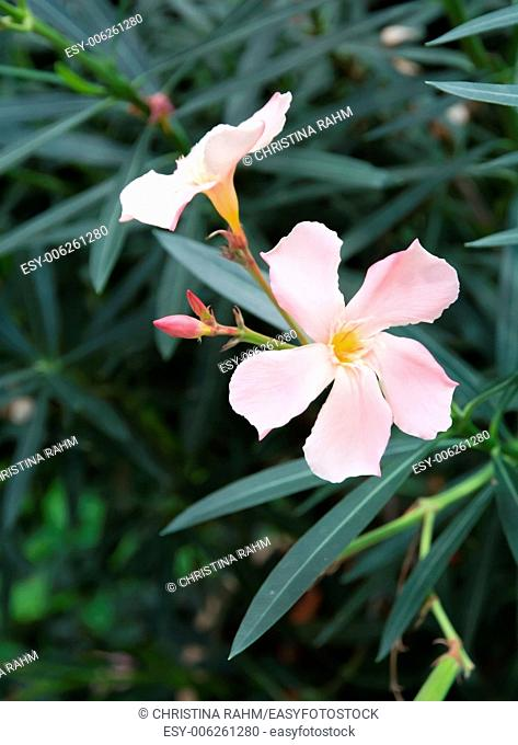 Oleander flowers. Nerium shrub with pastel pink flowers