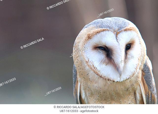 Italy, Lombardy, Barn owl, Tyto Alba, in Captive