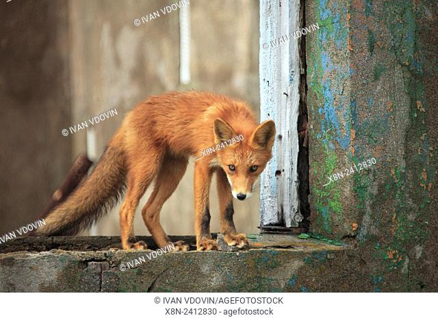 Red fox (Vulpes vulpes) in abandoned house, Sea of Okhotsk coast, Kamchatka Peninsula, Russia