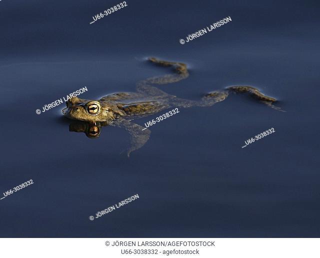 Swimming Toad. Sodertalje, Sweden