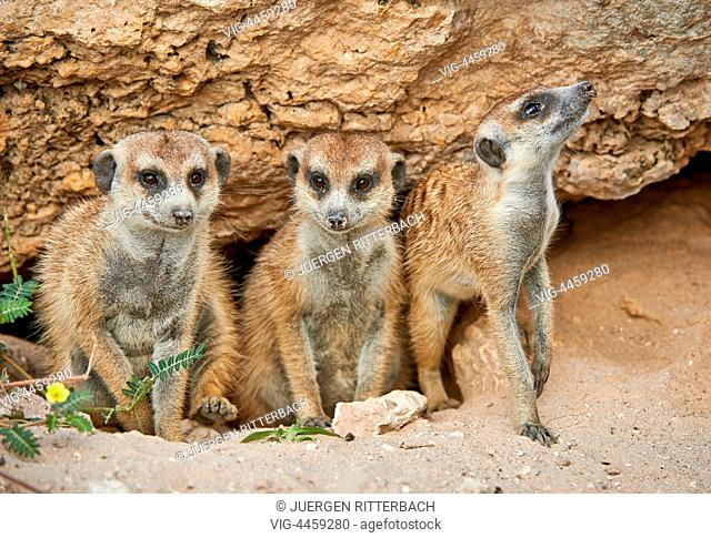 meerkat or suricate, Suricata suricatta, Kgalagadi Transfrontier Park, Kalahari, South Africa, Botswana, Africa - Kgalagadi Transfrontier Park, South Africa