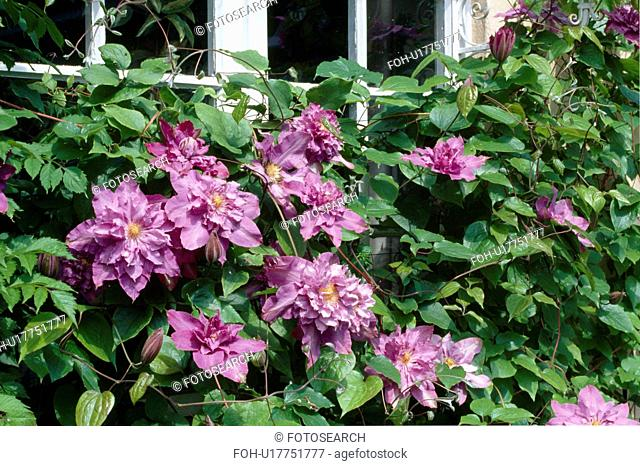 Close up of a large flowered double clematis skramling over a windowsill
