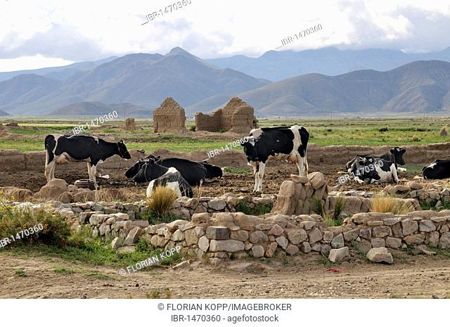 Dairy cow farming, cows, Altiplano Bolivian highland, Oruro Department, Bolivia, South America